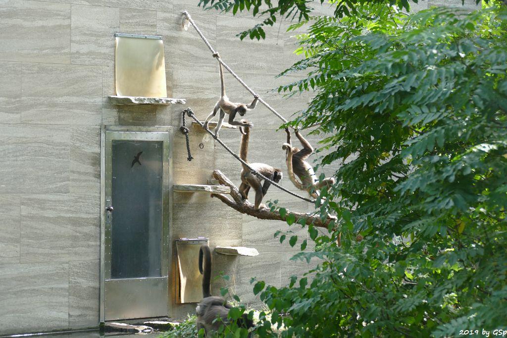 Brauner Goldstirn-Klammeraffe