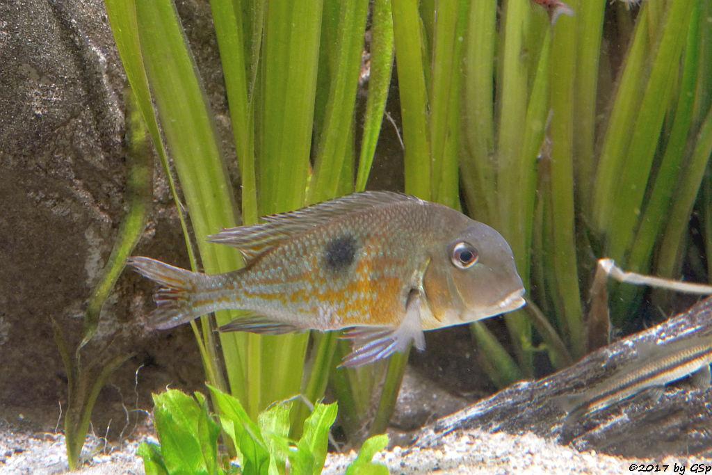 Surinam-Perlfisch (Erdfresser)