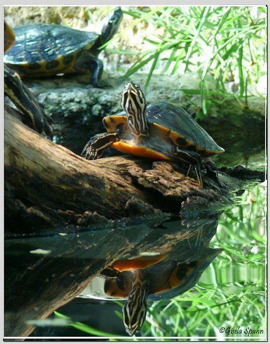 Florida-Rotbauchschildkröte