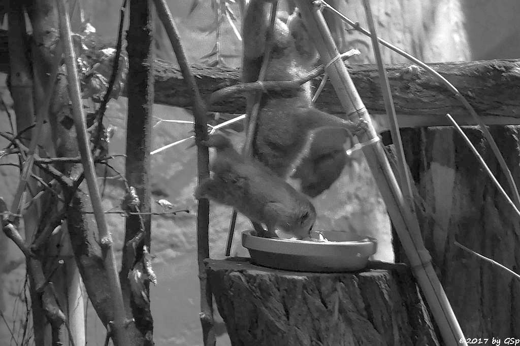 Zwergplumplori (Zerglori), Jungtier geb. am 25.03.17 (8 1/2 Wo)