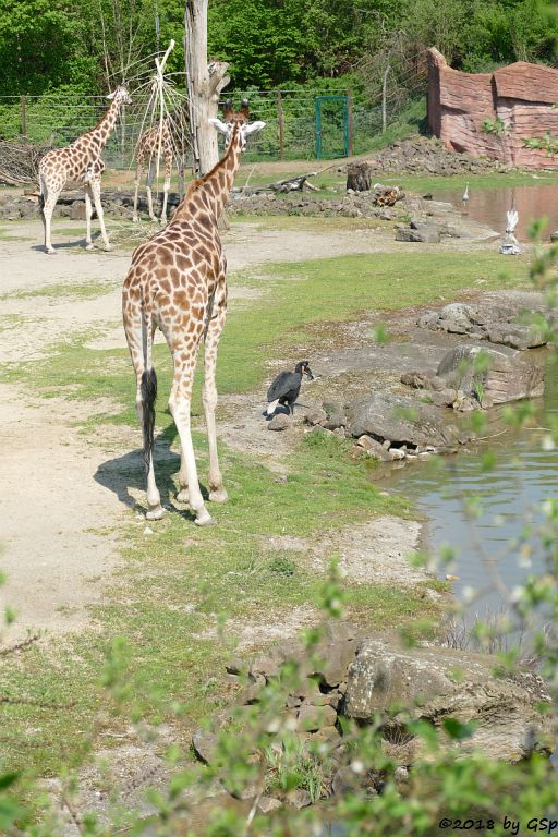 Rothschildgiraffe (Uganda-Giraffe, Baringo-Giraffe), Nördlicher Hornrabe (Sudan-Hornrabe, Abessinischer Hornrabe)) Abessinischer Hornrabe)