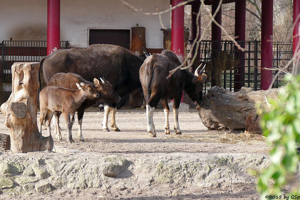Gaur, Jungtiere geb. im April 2014 und Januar 2015
