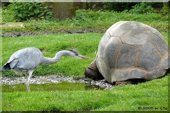 Seychellen-Riesenschildkröte und Graureiher