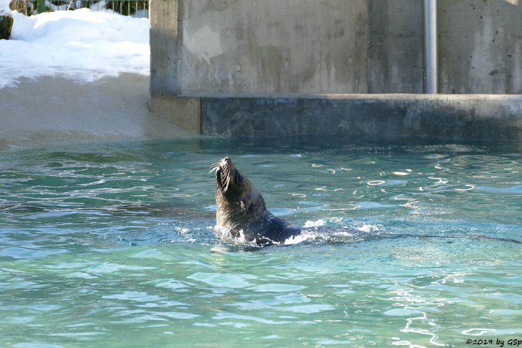 Südafrikanischer Seebär (Zwegseebär, Kap-Seebär)