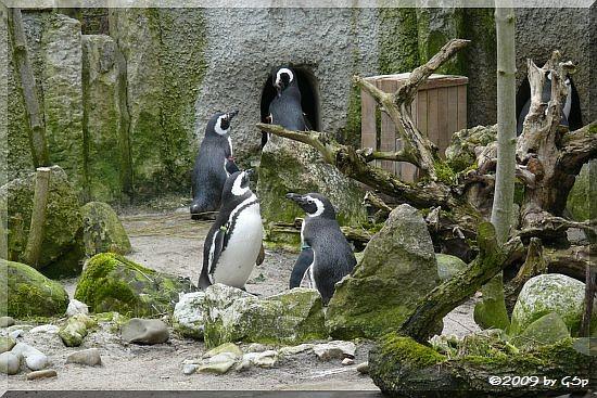 Magellan-Pinguin