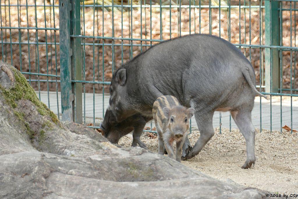 Negros-Pustelschwein (Visayas-Pustelschwein, Visayas Mähnenschwein), Jungtiere geb. 17.7.18