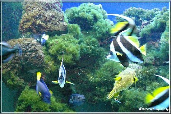 Wimpelfisch