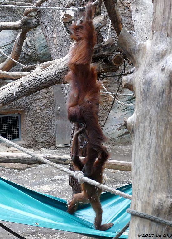 Sumatra-Orang-Utan INDAH und SAYANG