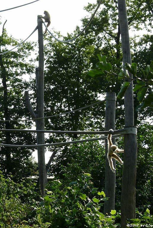 Weißhandgibbon, Jungtier geb. am 10.02.11