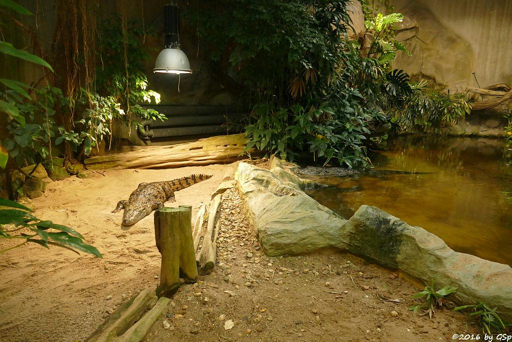 Südliches Nilkrokodil