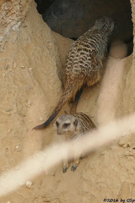 Erdmännchen, Spornschildkröte