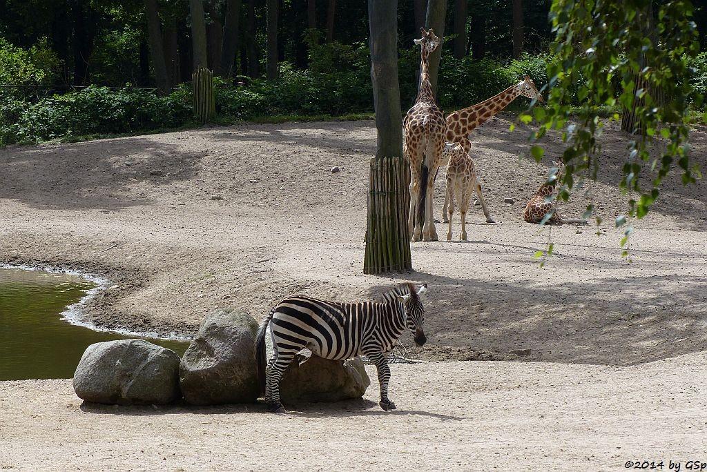 Grantzebra, Rothschild-Giraffe