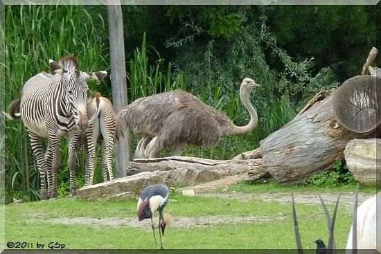 Grévy-Zebra, Blauhalstrauß, Südafrikanischer Kronenkranich