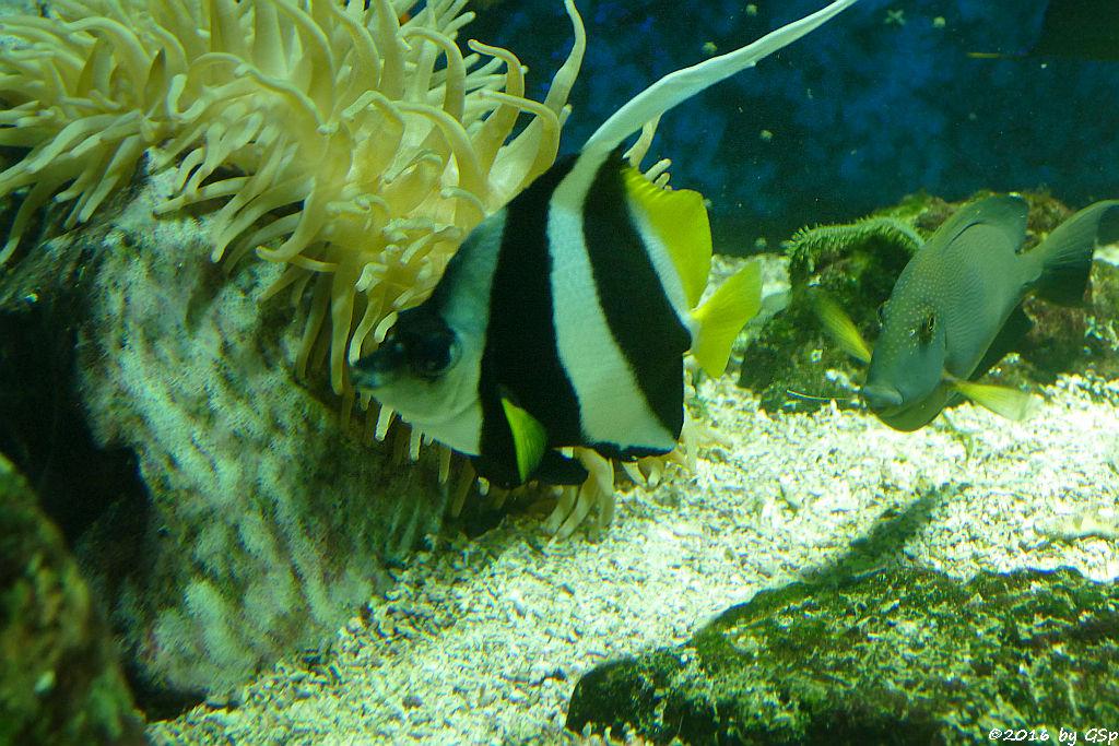 Pazifik-Wimpelfisch
