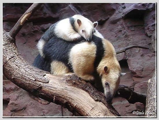 Tamandua (kleiner Ameisenbär)
