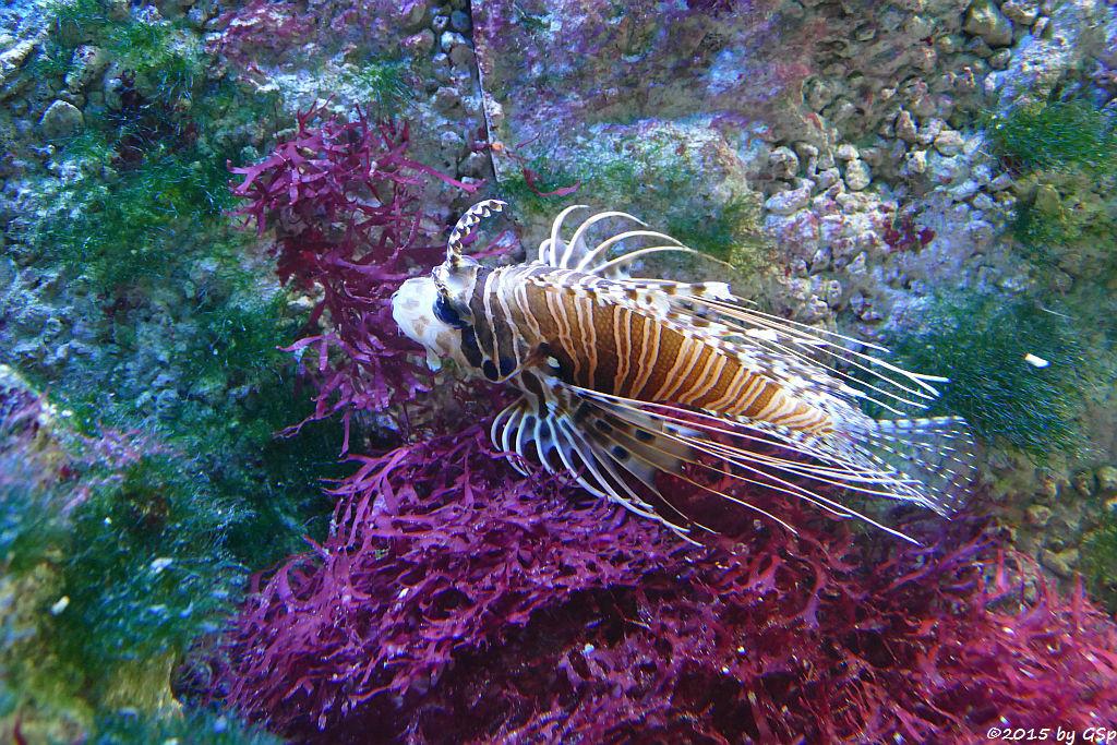 Antennen-Feuerfisch
