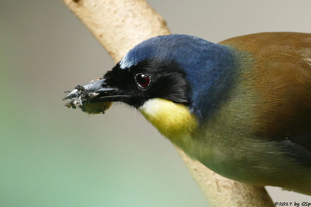 Blaukappen-Häherling (Chinesischer Gelbkehlhäherling)