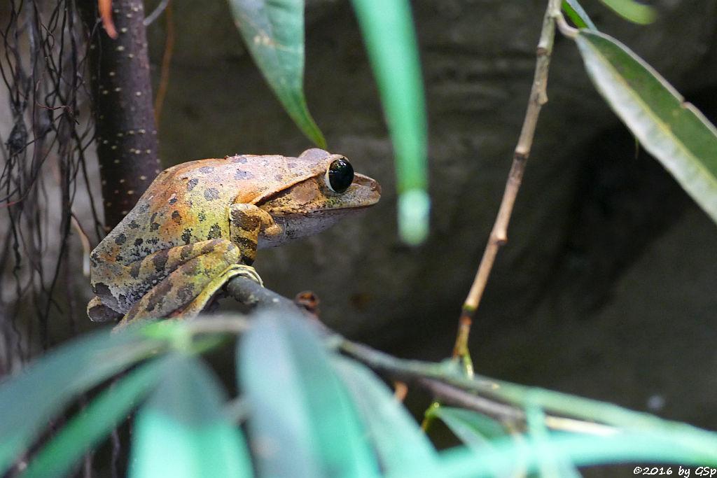 Großkopf-Ruderfrosch