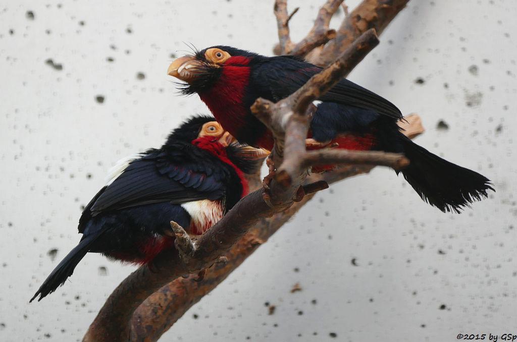 Senegal-Furchenschnabel (Furchenschnabel-Bartvogel)