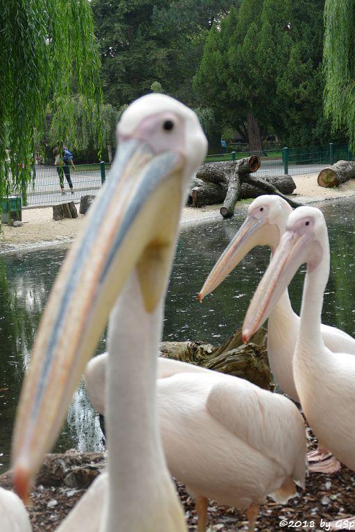 Rosapelikan (Gewöhnlicher Pelikan)