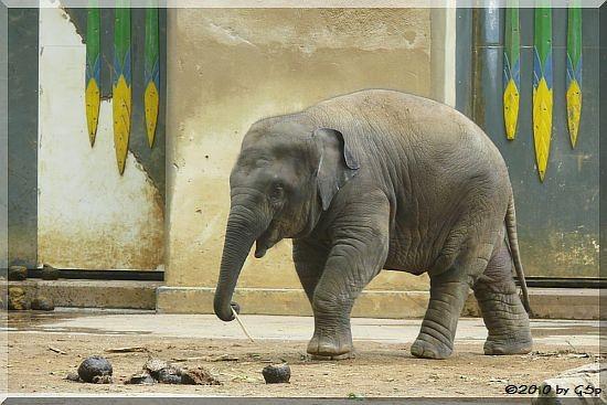 Asiatischer Elefant, geb. am 17.5.09