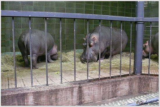 Flusspferde im alten Elefantenhaus