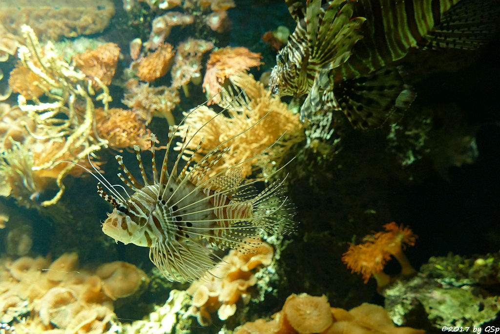 Antennenfeuerfisch, Pazifischer Rotfeuerfisch (Eigentl. Rotfeuerfisch)