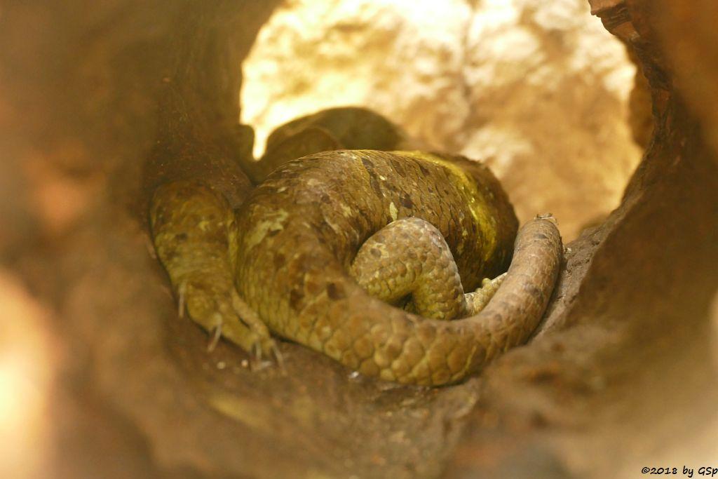 Wickelschwanzskink (Salomonen-Riesenskink)