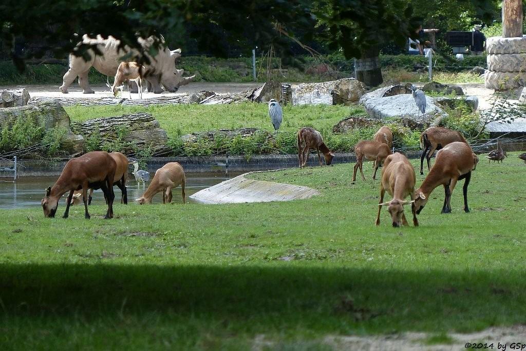 Kamerunschaf, Breitmaulnashorn, Blässbock, Graureiher