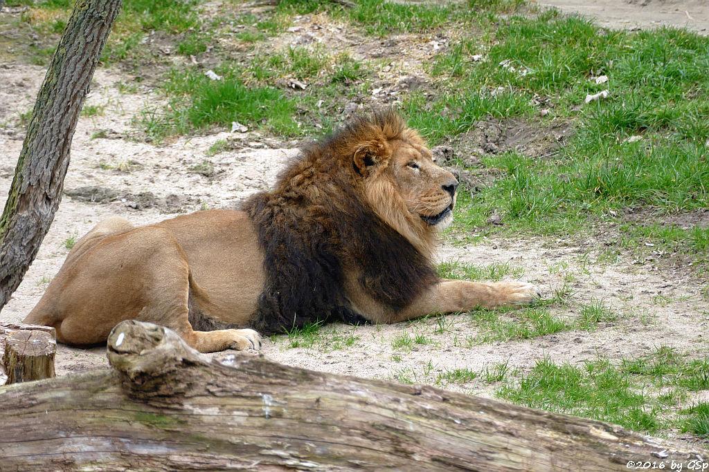 Asiatischer Löwe TEJAS