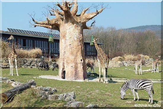 Streifengnu, Rothschildgiraffe, Böhmzebra