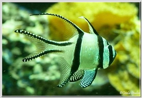 Banggai-Kardinalfisch