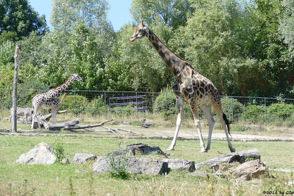 Böhm-Steppenzebra (Grantzebra), Rothschildgiraffe (Uganda-Giraffe, Baringo-Giraffe