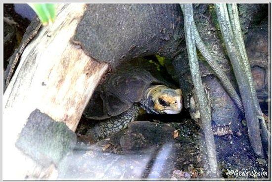 Home Gelenkschildkröte