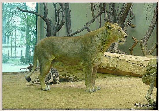 Indische Löwin KIRI