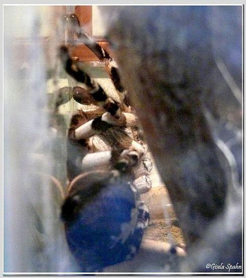 Ceylon-Baumvogelspine