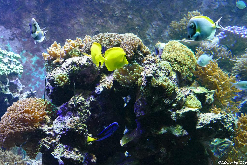 Weißkehl-Doktorfisch, Gelber Segelflossendoktor