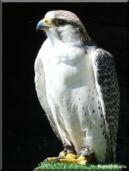 Gerfalke weiß-grau