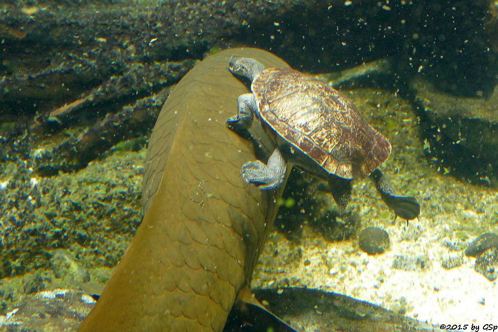 Australischer Lungenfisch, Glattrücken-Schlangenhalsschildkröte