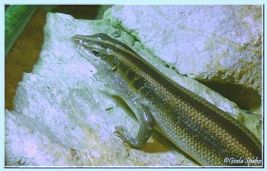 Blauschwanz-Mabuye