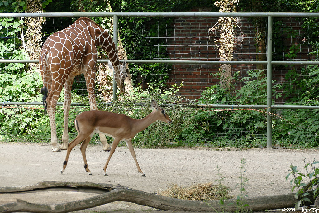 Netzgiraffe, Impala (Schwarzfersenantilope)