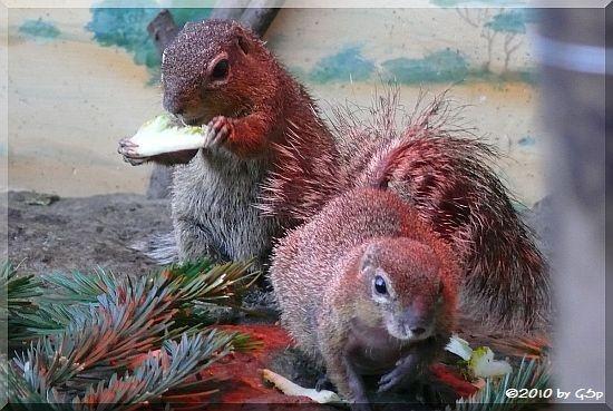 Ostafrik. Schlichtborstenhörnchen