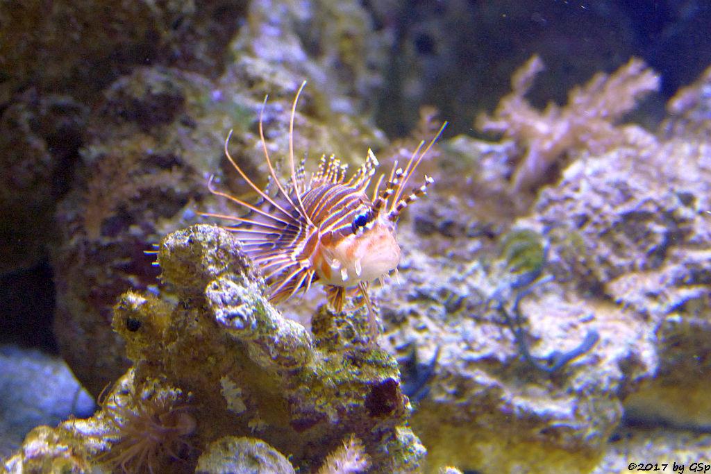 Antennenfeuerfisch