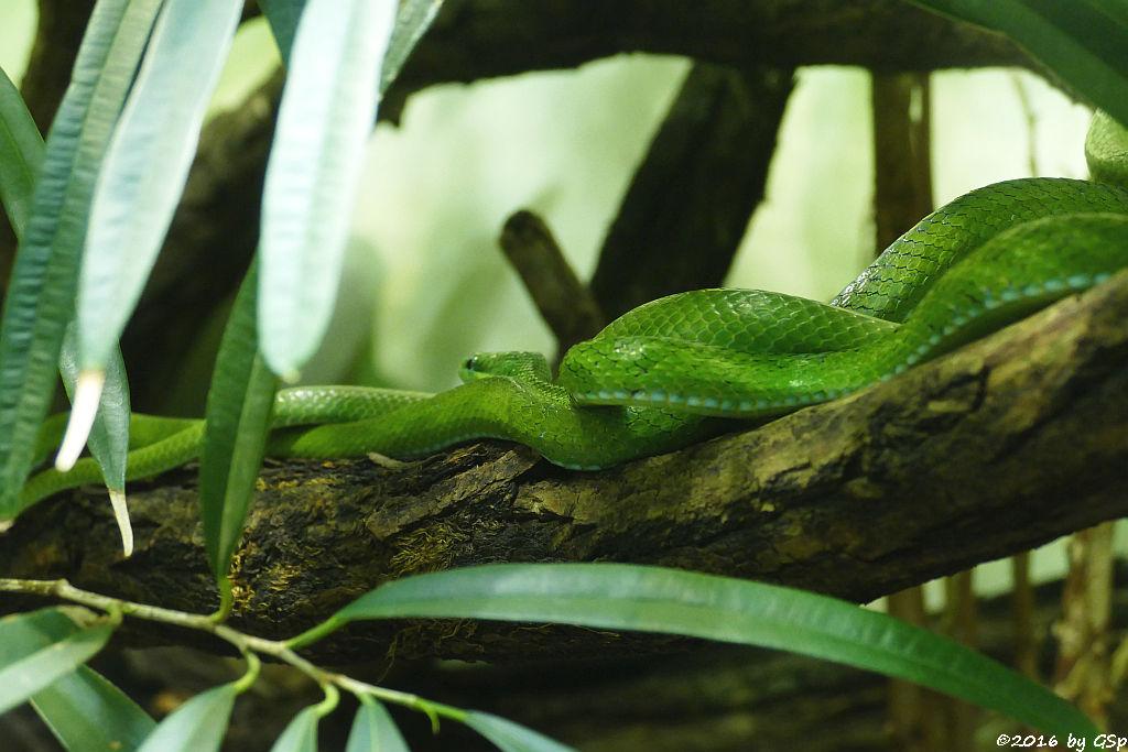 Smaragdnatter (Grüne Strauchnatter, Kleine Spitzkopfnatter)