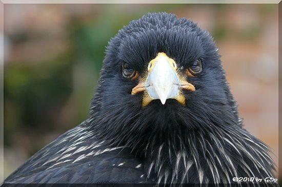 Falkland-Karakara