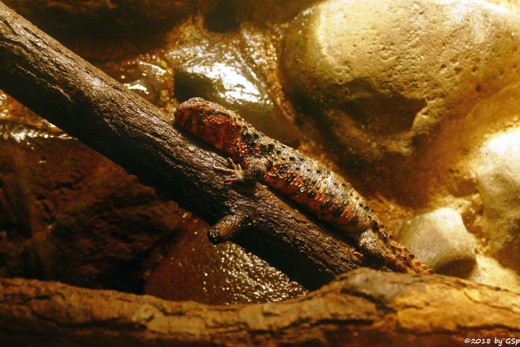 Krokodilschwanz-Höckerechse  (Chinesische Krokodilschwanzechse, Krokodilhöckerechse)