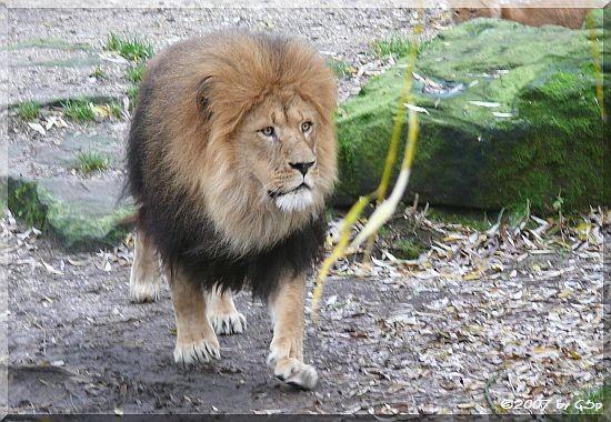 Löwe JARAH