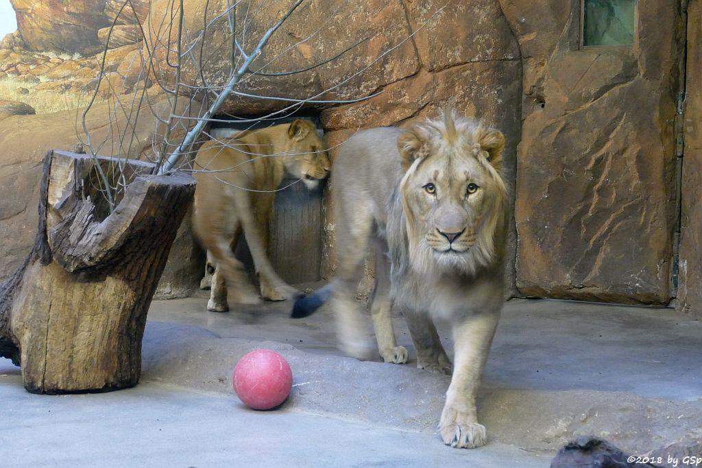 Kalahari-Löwe (Etoscha-Löwe, Wüstenlöwe) KIGALI und MAJO