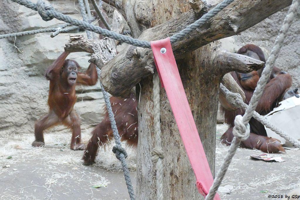 Sumatra-Orang-Utan SAYANG, INDAH, KEMBALI