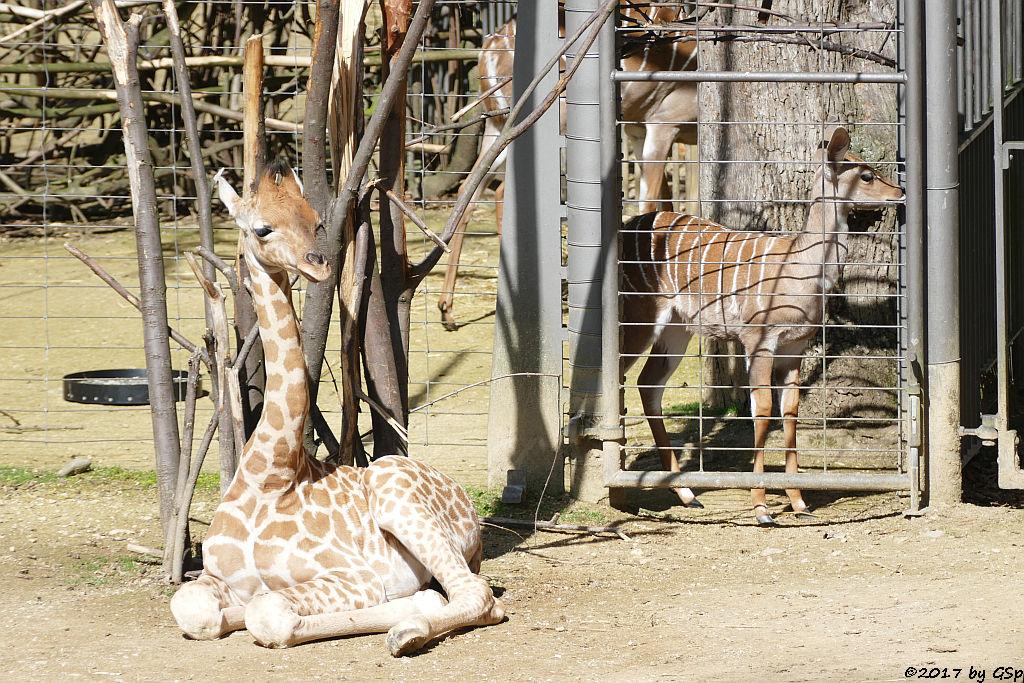 Kardofan-Giraffe ONONG, geb. am 28.02.17 (3 12 Wo.alt), Kleiner Kudu